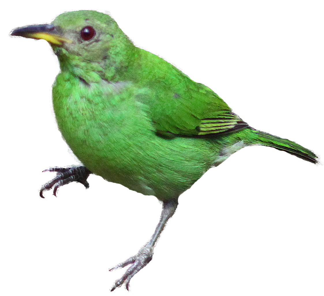 Green Honeycreeper clipart #8, Download drawings