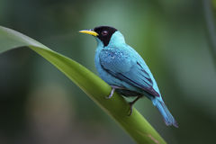 Green Honeycreeper clipart #7, Download drawings