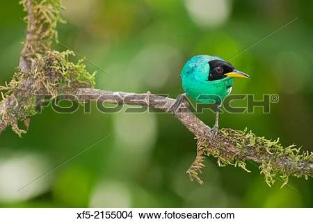 Green Honeycreeper clipart #20, Download drawings