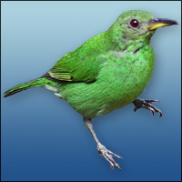 Green Honeycreeper clipart #19, Download drawings