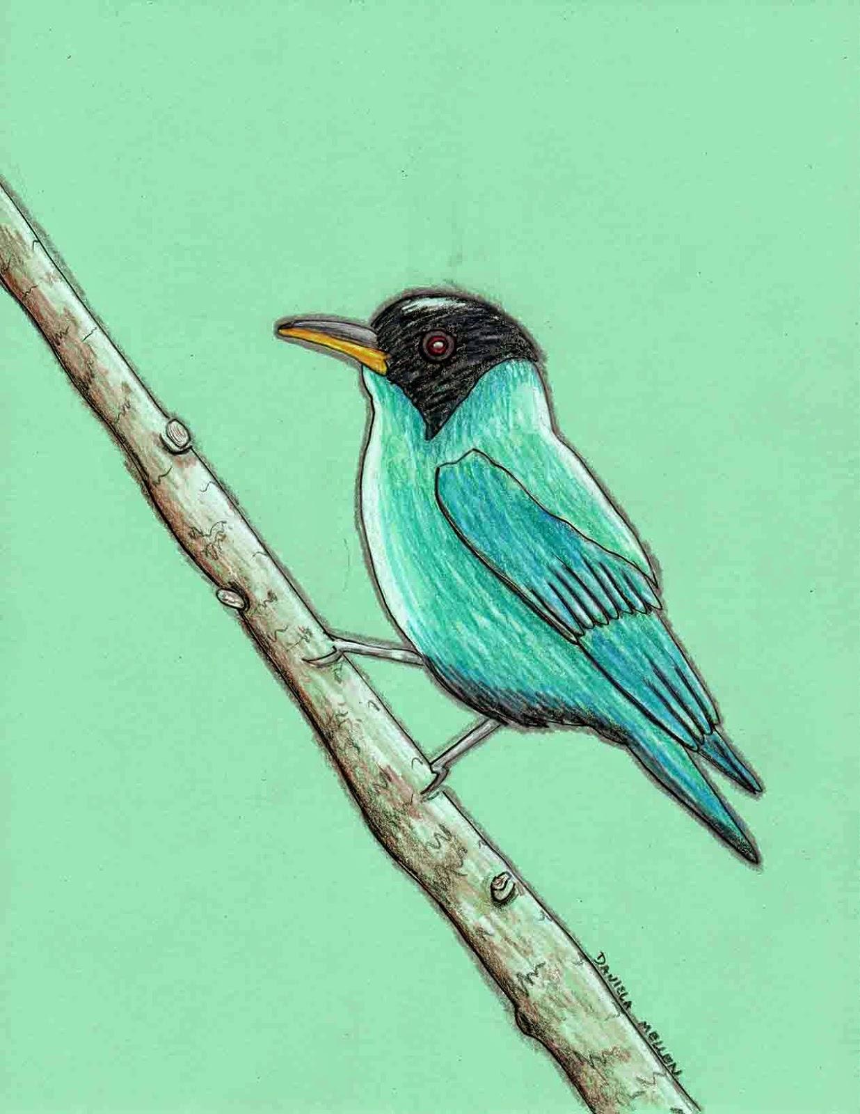 Green Honeycreeper coloring #4, Download drawings