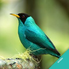 Green Honeycreeper svg #12, Download drawings