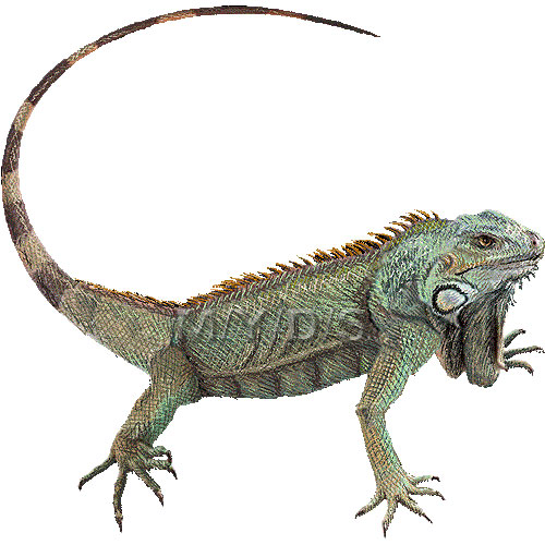 Green Iguana clipart #3, Download drawings