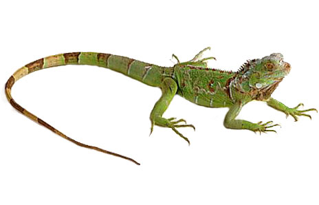 Green Iguana clipart #2, Download drawings