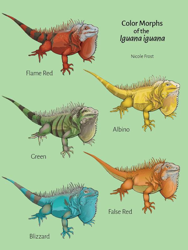 Green Iguana coloring #17, Download drawings