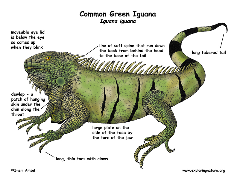 Green Iguana coloring #15, Download drawings