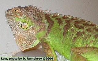 Green Iguana coloring #3, Download drawings