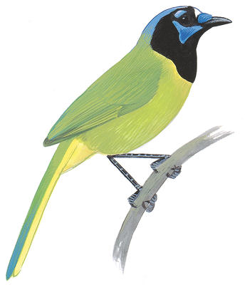 Green Jay clipart #20, Download drawings