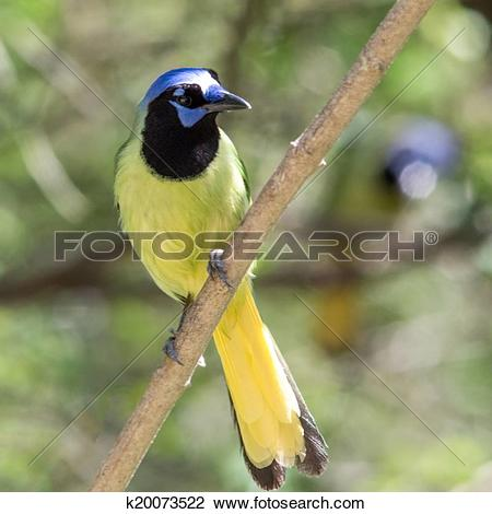 Green Jay clipart #16, Download drawings