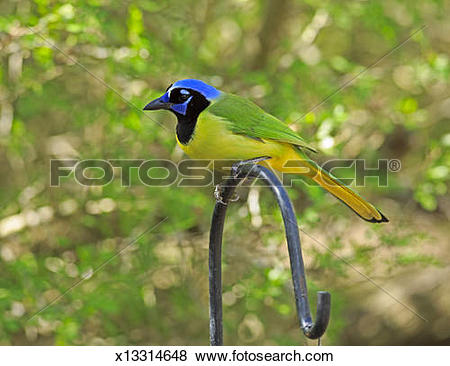 Green Jay clipart #18, Download drawings