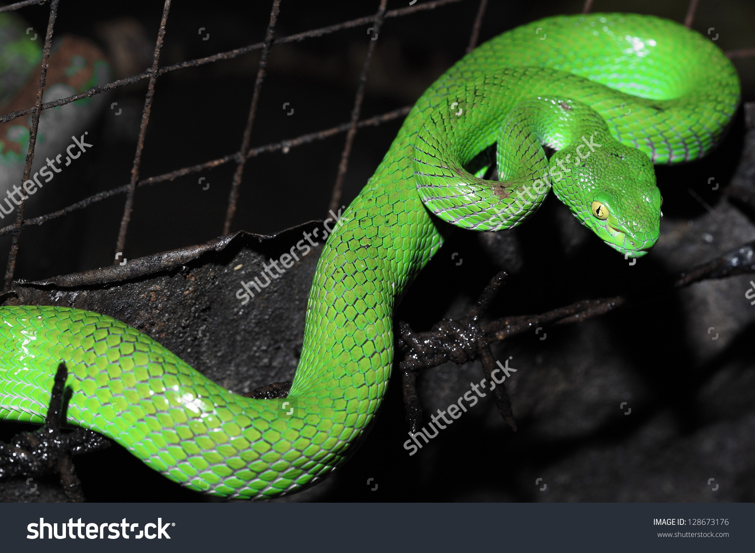 Green Pit Viper clipart #5, Download drawings