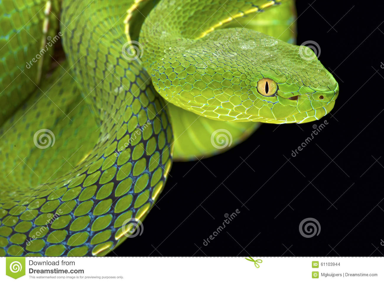 Green Pit Viper clipart #13, Download drawings