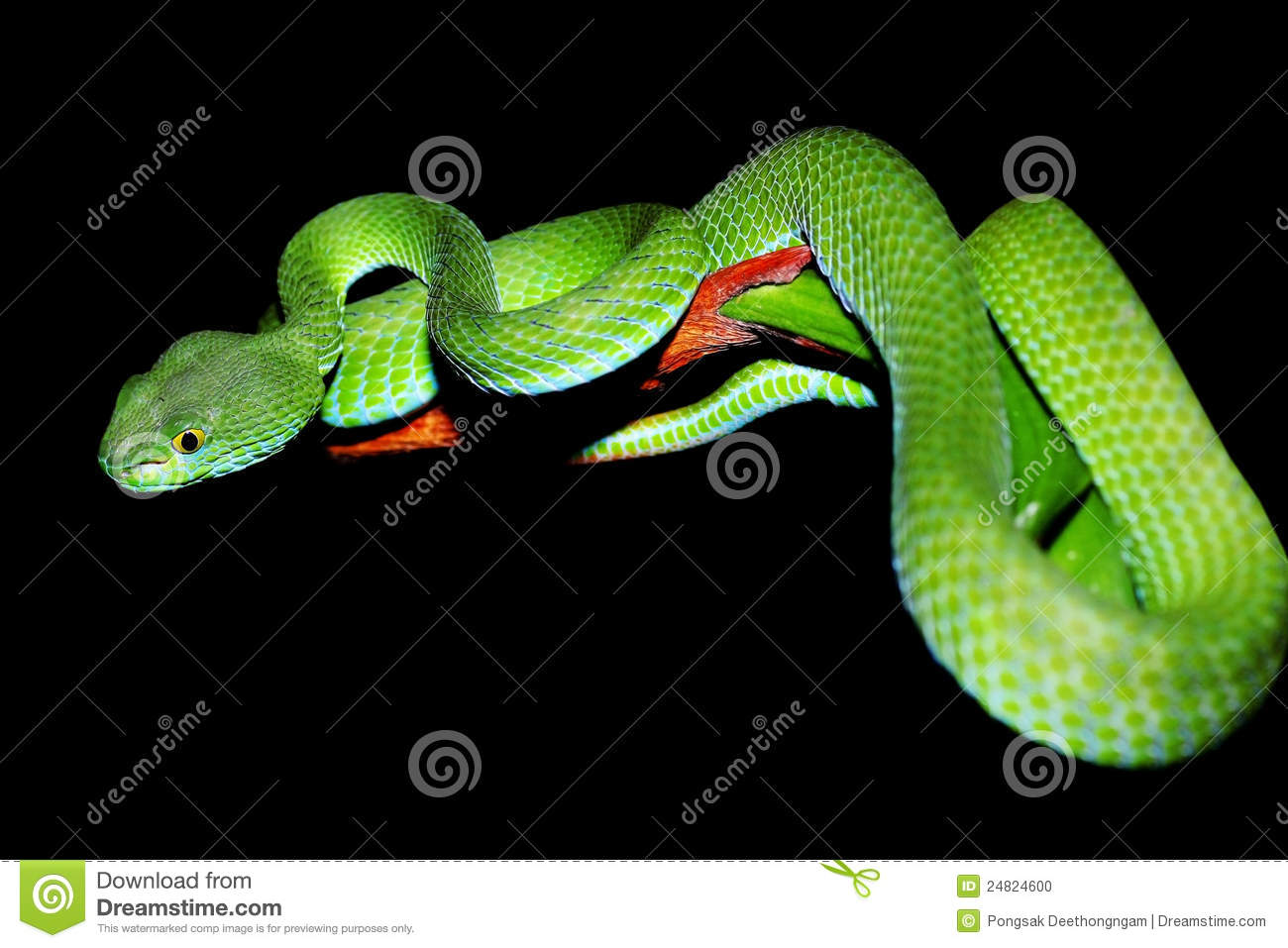 Green Pit Viper clipart #12, Download drawings