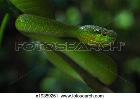 Green Pit Viper clipart #3, Download drawings