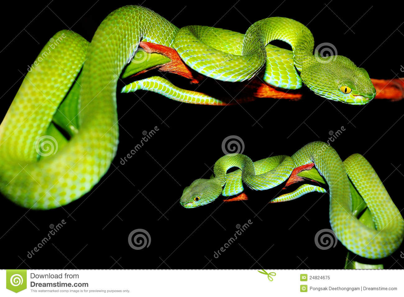 Green Pit Viper clipart #8, Download drawings