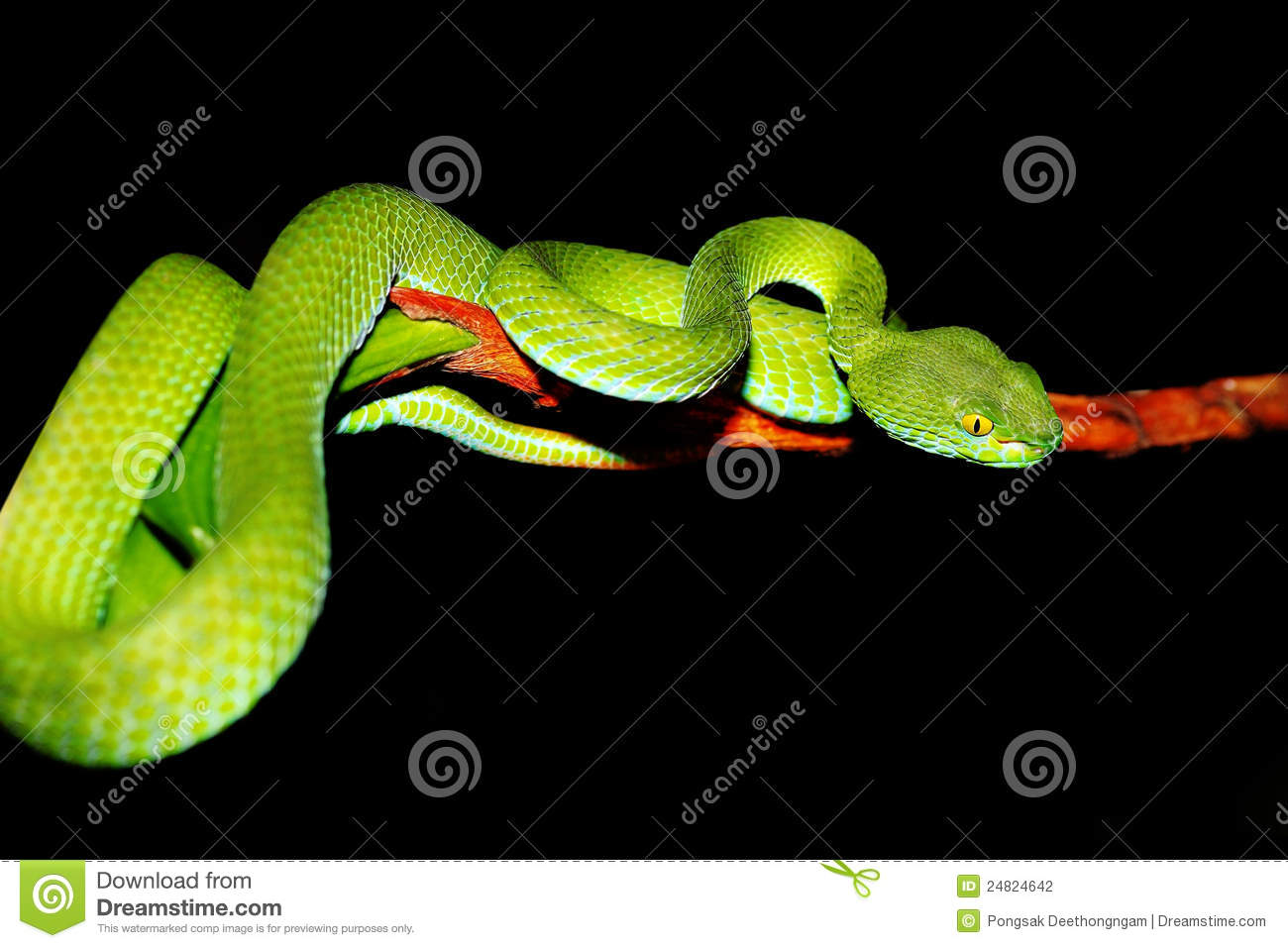Green Pit Viper clipart #20, Download drawings