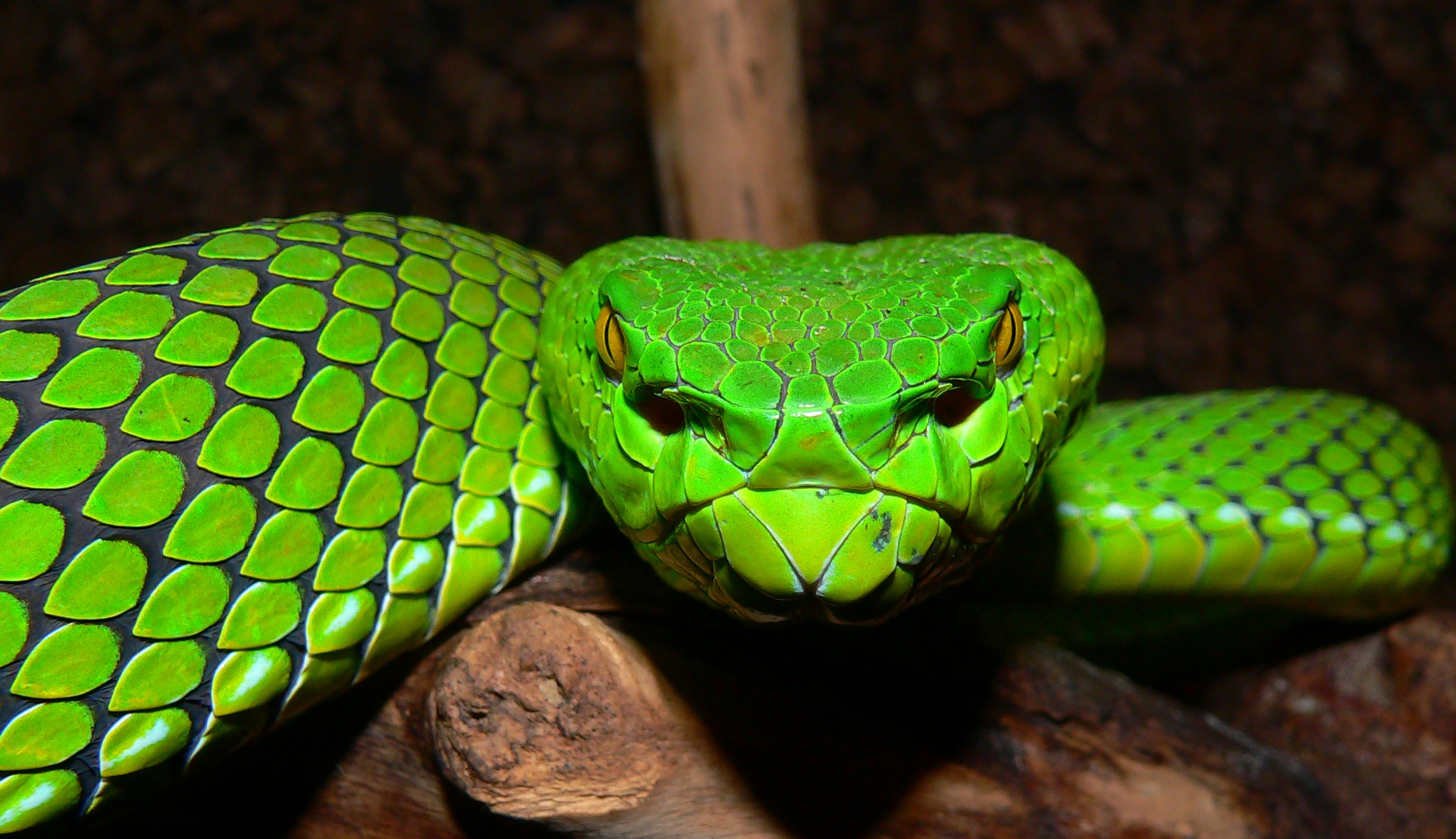 Green Pit Viper coloring #17, Download drawings