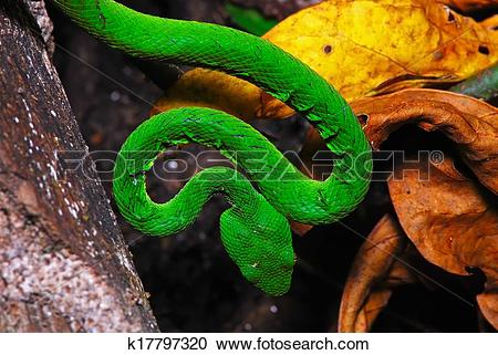 Green Pit Viper clipart #19, Download drawings