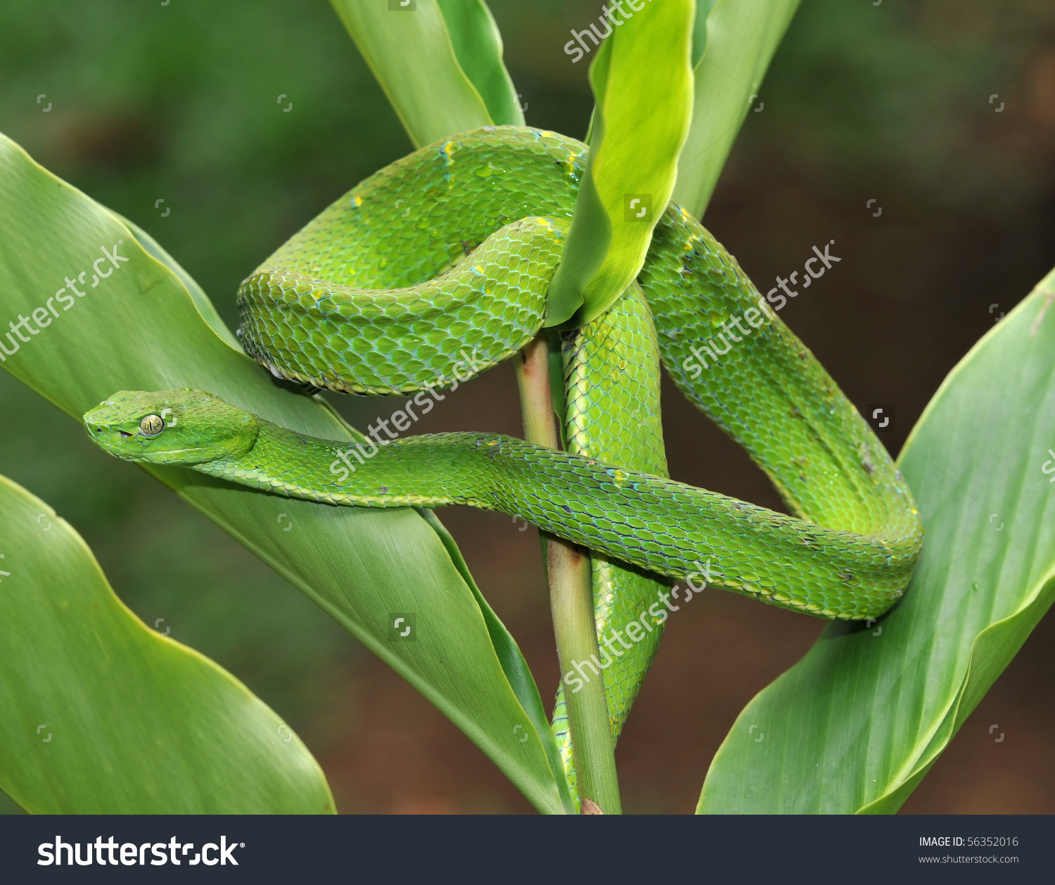 Green Pit Viper clipart #9, Download drawings