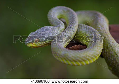 Green Pit Viper clipart #18, Download drawings