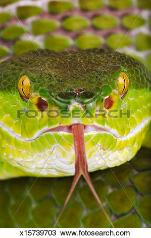 Green Pit Viper clipart #15, Download drawings
