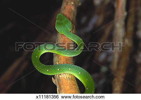 Green Pit Viper clipart #14, Download drawings