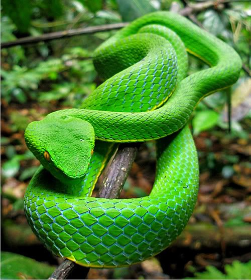 Green Pit Viper coloring #20, Download drawings