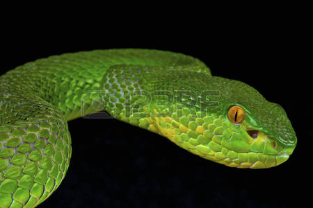 Green Pit Viper coloring #5, Download drawings