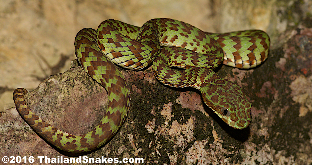 Green Pit Viper coloring #9, Download drawings