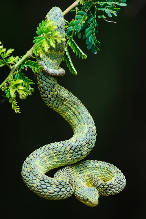 Green Pit Viper coloring #14, Download drawings