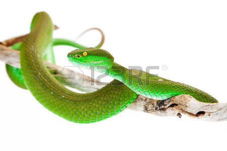 Green Pit Viper coloring #3, Download drawings