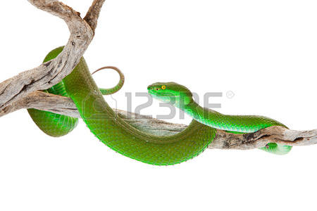 Green Pit Viper coloring #2, Download drawings