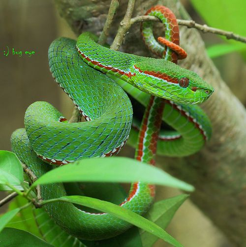 Green Pit Viper coloring #8, Download drawings