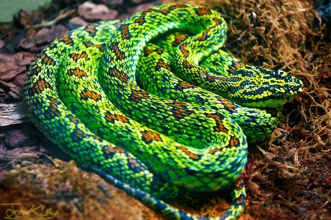 Green Pit Viper coloring #13, Download drawings