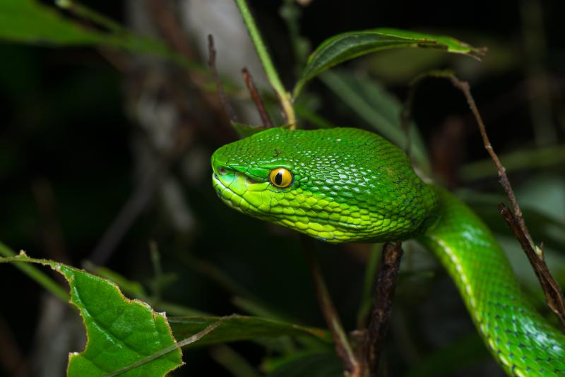 White-lipped Pit Viper svg #6, Download drawings