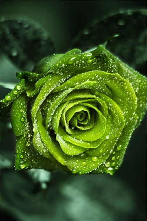 Green Rose coloring #19, Download drawings