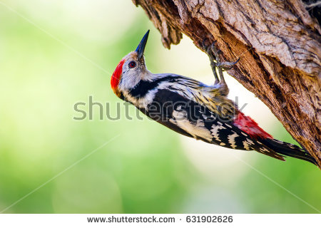 Green-barred Woodpecker coloring #4, Download drawings