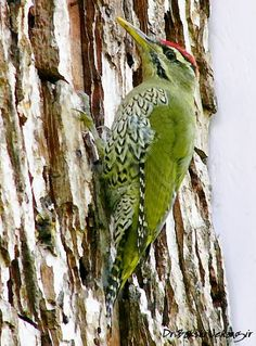 Green-barred Woodpecker coloring #5, Download drawings
