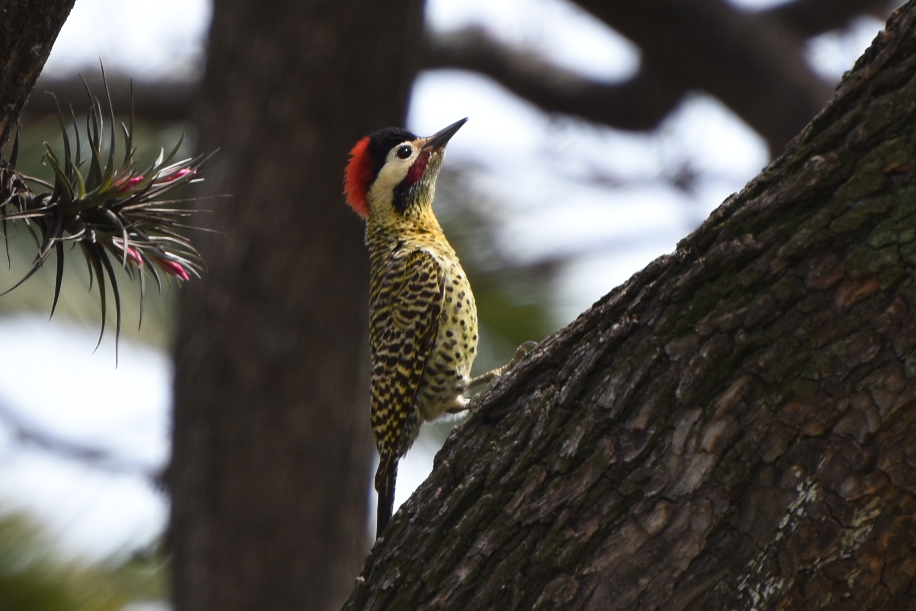 Green-barred Woodpecker svg #2, Download drawings