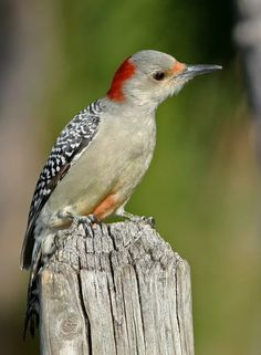 Green-barred Woodpecker svg #10, Download drawings