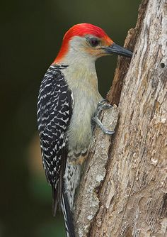 Green-barred Woodpecker svg #12, Download drawings