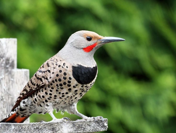 Green-barred Woodpecker svg #4, Download drawings