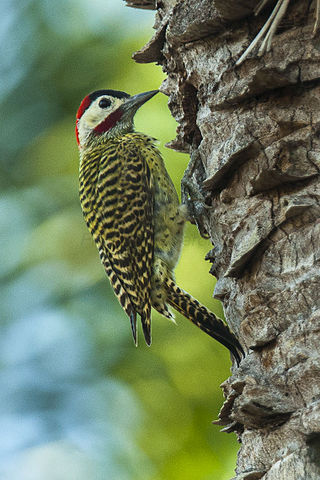 Green-barred Woodpecker svg #18, Download drawings