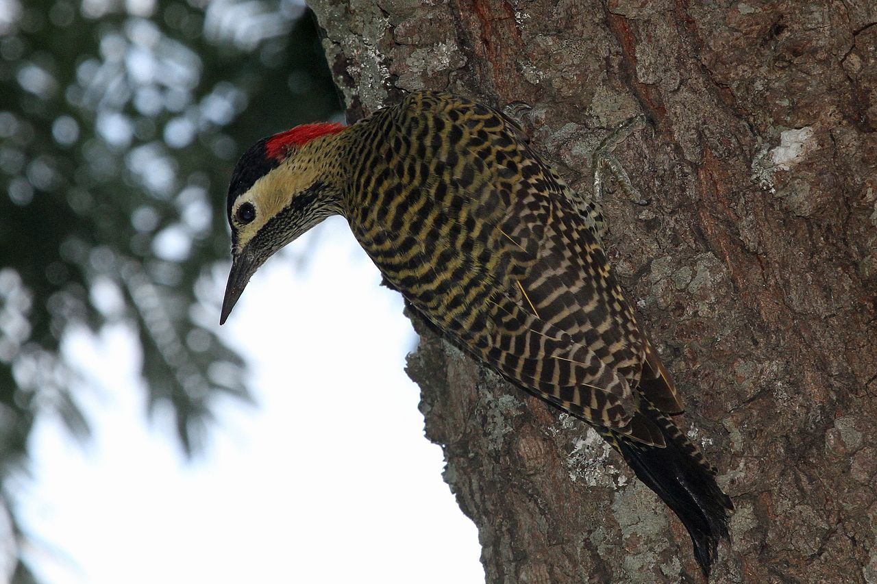 Green-barred Woodpecker svg #15, Download drawings