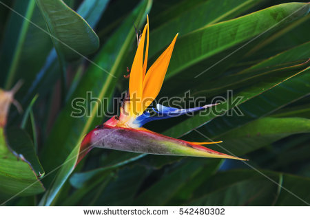 Green-throated Bird Of Paradise clipart #17, Download drawings
