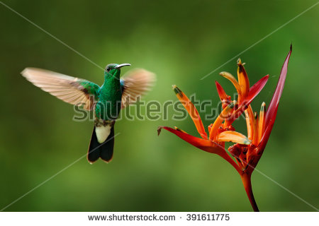 Green-throated Bird Of Paradise clipart #13, Download drawings