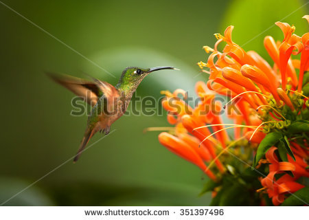 Green-throated Bird Of Paradise clipart #12, Download drawings