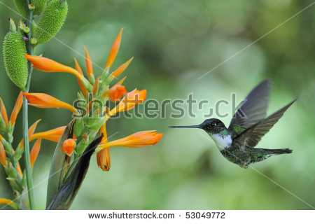 Green-throated Bird Of Paradise clipart #5, Download drawings
