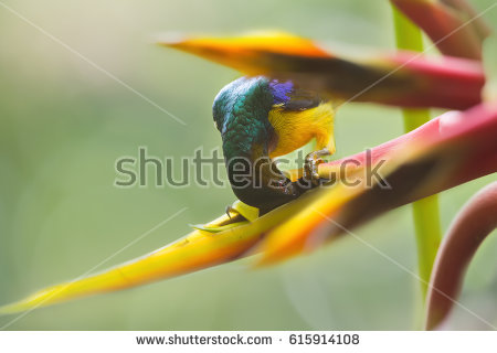Green-throated Bird Of Paradise clipart #4, Download drawings