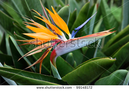 Green-throated Bird Of Paradise clipart #19, Download drawings
